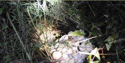 地接近一棵橄榄树